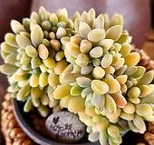 익스펙트리아철화금3-385|Cremneria Expatriata f cristata