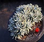 화이트그리니 810307|Dudleya White greenii