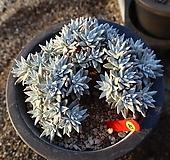 화이트그리니 470307|Dudleya White greenii