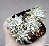 화이트그리니 18-272|Dudleya White greenii
