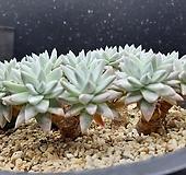 화이트그리니 자연군생 굵은목대|Dudleya White greenii
