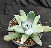 파키피텀|Dudleya pachyphytum
