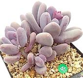 보라미인|Pachyphytum Bora