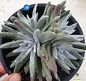 35 얼큰이 화이트그리니 중품 |Dudleya White greenii
