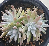 36 화이트그리니 자연 (분지전)|Dudleya White greenii