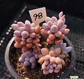 베이비핑거98|Pachyphytum Machucae(baby finger)