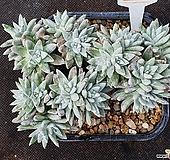화이트그리니 자연군생 549|Dudleya White greenii