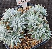 화이트그리니 자연군생 552|Dudleya White greenii