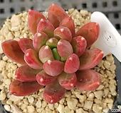 핑크클라우쿰 307|Pachyphytum compactum var. glaucum