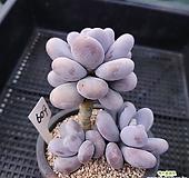 오비포럼자연군생609|Pachyphytum oviferum