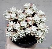 화이트그리니(자연군생) 18-378|Dudleya White greenii