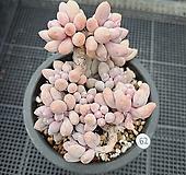묵은베이비핑거 62백|Pachyphytum Machucae(baby finger)