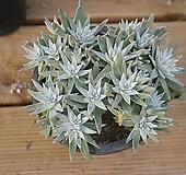 화이트그리니 0308-40|Dudleya White greenii