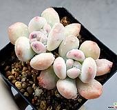 후레뉴 19-1|Pachyphytum cv Frevel