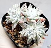 화이트그리니(자연군생) 19-43|Dudleya White greenii