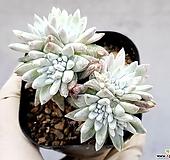 화이트그리니(자연군생) 19-64|Dudleya White greenii