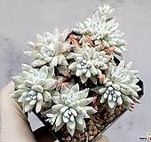 화이트그리니(자연군생) 19-164|Dudleya White greenii
