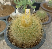 금옹옥선인장.실생(19)|Haworthia truncata