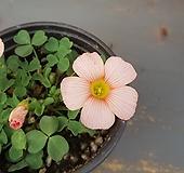 사랑초 (연분홍)|