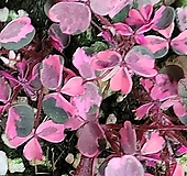 무늬사랑초(플럼크레이지)|