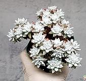화이트그리니(자연군생) 19-429|Dudleya White greenii
