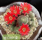 30 실생 레드파이 선인장 꽃사진첨부 |