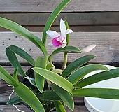 유향 미니종 카틀레야 카틀레아 실내식물 공기정화식물 화초 엑스플랜트 엑플|