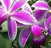 카틀레야원종.20번.violacea v. semialba flamea.좋은향.예쁜핑크색의 진핑크색립프.꽃모양특이함.꽃모양큰편..꽃모양시원시원한형.아주좋은향.고급종.상태굿.귀한품종.|
