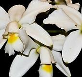 카틀레야원종.19번.violacea var. alba.아주좋은향.예쁜흰색.꽃모양특이함.꽃모양큰편..꽃모양시원시원한형.아주좋은향.고급종.상태굿.귀한품종.|