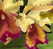 카틀레야원종.4번.dowiana.아주좋은향.예쁜노랑색의빨강림프그물무늬.꽃모양특이함.꽃모양큰편..꽃모양시원시원한형.아주좋은향.고급종.상태굿.귀한품종.|