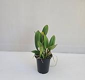 카틀레아 진노랑/공기정화식물/반려식물/온누리 꽃농원|