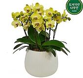 서양난 꽃 개업축하화분 호접란 포춘 인테리어식물 DSP-093|