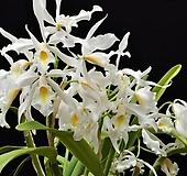 카틀레야원종.10번.맥시마 알바.예쁜 흰색.순수백색.예쁜꽃모양.꽃모양큰편.꽃모양시원시원한형.아주좋은향.고급종.상태굿.귀한품종.|Echeveria Alba Beauty