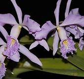 카틀레야원종.11번.maxima var.coerulea.예쁜 보라핑크색.예쁜꽃모양.꽃모양큰편.꽃모양시원시원한형.아주좋은향.고급종.상태굿.귀한품종.|