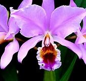 카틀레야원종.14번.Percivaliana.퍼씨발리아나.좋은향.예쁜연보라핑크색.꽃모양특이함.꽃모양큰편..꽃모양시원시원한형.아주좋은향.고급종.상태굿.귀한품종.|