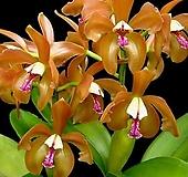 카틀레야원종.16번.porphyroglossa.좋은향.예쁜오렌지색.꽃모양특이함.꽃모양큰편..꽃모양시원시원한형.아주좋은향.고급종.상태굿.귀한품종.|