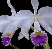 카틀레야원종.17번.trianaei v.coerulea.좋은향.예쁜흰색연보라립프색.꽃모양특이함.꽃모양큰편..꽃모양시원시원한형.아주좋은향.고급종.상태굿.귀한품종.|