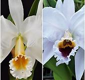 카틀레야원종.15번.Percivaliana v.alba+.Percivaliana v.coerulea.아주좋은향.예쁜화이트색.꽃모양예쁨.아주좋은향.고급종.상태굿.귀한품종.|