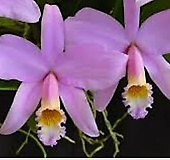 카틀레야원종.29번.Laelia jongheana.아주좋은향.예쁜연보라핑크색의노랑색립프.꽃모양특이함.꽃모양큰편..꽃모양시원시원한형.아주좋은향.고급종.상태굿.귀한품종.|