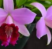 카틀레야원종.26번.Laelia dayana.아주좋은향.예쁜핑크색의붉은립프.꽃모양특이함.꽃모양큰편..꽃모양시원시원한형.아주좋은향.고급종.상태굿.귀한품종.|