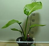 여인초2번-극락조-광엽-동일품배송|