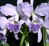 카틀레야원종.7번.labiata var.coerulea.좋은향.예쁜연보라색의진보라색립프.꽃모양큰편..꽃모양시원시원한형.아주좋은향.고급종.상태굿.귀한품종.|