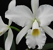 카틀레야원종.8번.labiata var.alba.좋은향.예쁜흰색의노랑색립프.꽃모양큰편..꽃모양시원시원한형.아주좋은향.고급종.상태굿.귀한품종.|