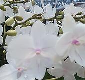 벨리니 호접란 서양란 실내식물 공기정화식물 엑스플랜트 엑플|