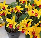 카틀레야.엘로우돌.꽃대.화려한노랑색.인기상품.꽃화형이 작은편.아주예뻐요.고급종.상태굿.|