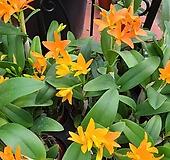 카틀레야 리틀엔젤.신상품입고.환타오렌지색.아주예뻐요.인기상품.꽃대.잎사귀싱싱해요.|