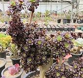 오래묵은 흑법사철화(왕특대,한몸목대)-946|Aeonium arboreum var. atropurpureum