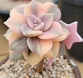 펜타드럼금|Graptopetalum pentandrum superbum