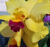 엘도라 카틀레야 카틀레아 실내식물 공기정화식물 화초 엑스플랜트 특이난|