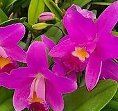카틀레야 사쿠라캔디.색감예쁨.아주좋은향.향기좋은향.여성스러운꽃.고급종.인기상품.꽃피었던상품.|